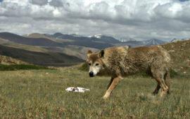 La dura vida del lobo del Himalaya lo ha hecho único