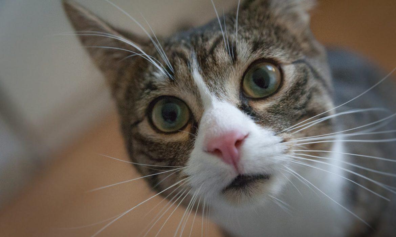 Vibrisas gatos