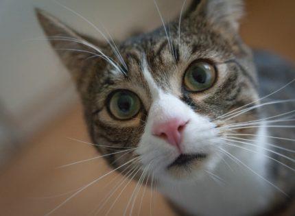 ¿Qué son las vibrisas en los gatos?