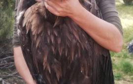 Trece buitres negros llegaron hoy a la Sierra de la Demanda como paso previo a su liberación