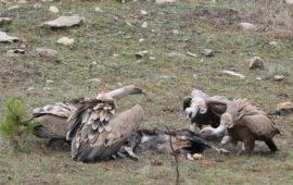 La recuperación del monte atrae a las grandes aves carroñeras