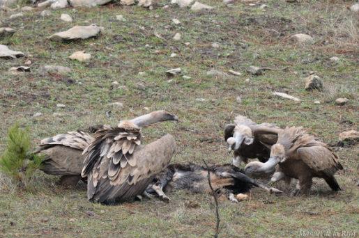 Varios buitres leonados se alimentan de carroña en la Sierra de Cazorla (Jaén). / Manuel de la Riva