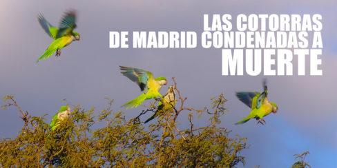 Cotorra argentina Madrid