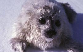La falta de nieve en el Ártico amenaza a las focas anilladas