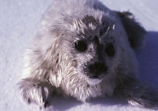 Cría foca anillada