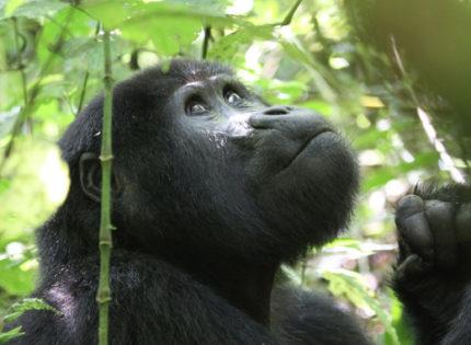 El turismo amenaza a los gorilas de montaña