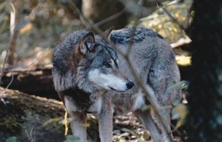 A la Unión Agroganadera de Álava le 'encanta' que maten lobos