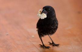 La comida basura afecta a la salud de los pinzones de Darwin