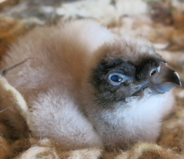 Nace el primer polluelo de quebrantahuesos de este año en el centro de fauna de Lleida