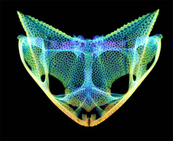 cráneo de la rana de cabeza triangular cornuda