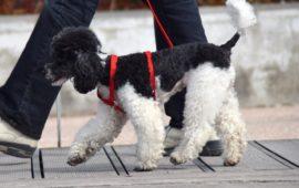 La RSCE pide limitar las salidas para pasear a los perros lo «estrictamente necesario»