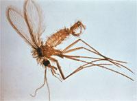 Phlebotomus
