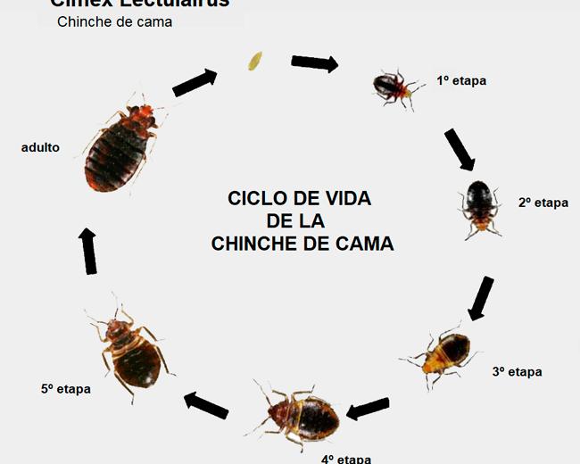 Chinches: un ectoparásito peligroso y muy molesto para humanos y mascotas