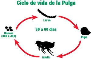 Parásitos externos - Ciclo pulga