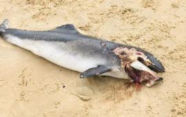 Aparece muerta una cría de delfín en una playa de Noja