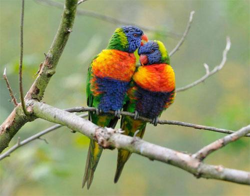Estallido multicolor en la evolución del plumaje del loro arcoiris