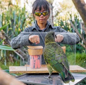 El loro kea utiliza la probabilidad para prever el futuro