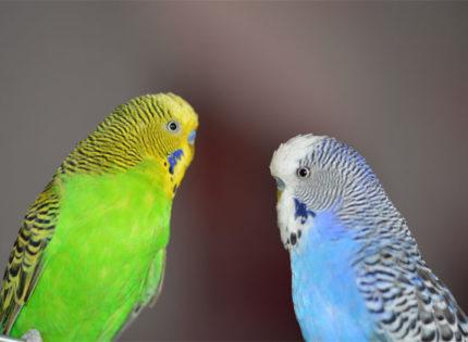 El periquito, una preciosa y simpática ave