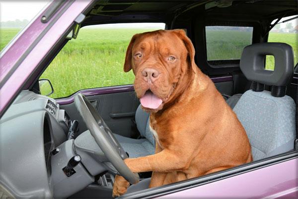 Perro conduciendo