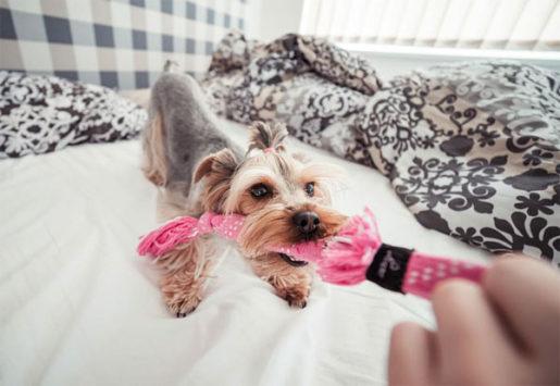 Perro tirando juguete