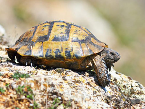 La Junta de Andalucía deniega autorización ambiental de préstamos para el AVE en Almería para proteger el hábitat de la tortuga mora