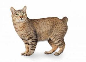Razas de gato - Bobtail
