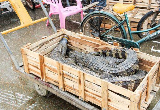 Tráfico ilegal de animales salvajes - Comercio de cocodrilos