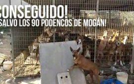 Rescatados los 90 podencos de Mogán, Canarias