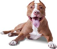 Razas de perro mediano - American staffordshire