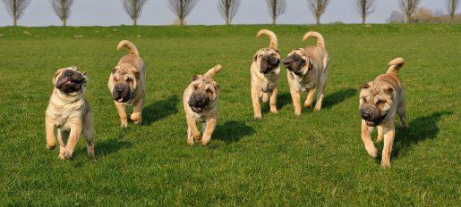 Exposición Mundial Canina -Sharpei