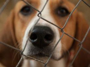 Beagle encerrado