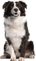 Razas de perro mediano - Border Collie