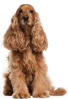 Razas de perro mediano - Spaniel Inglés