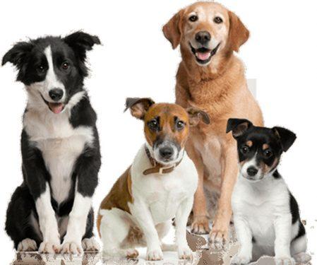 Razas medianas de perros
