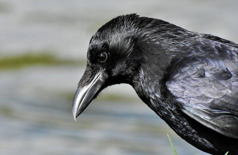Las aves más innovadoras reducen su riesgo de extinción