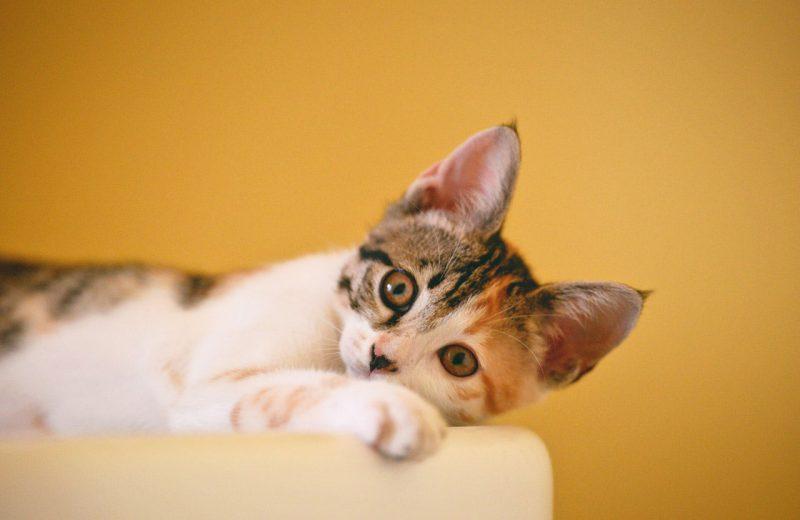 Gato acostado