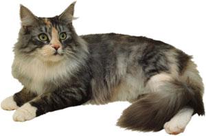 Razas de gato - Gato Bosque de Noruega