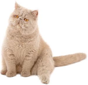 Razas de gato - Gato persa