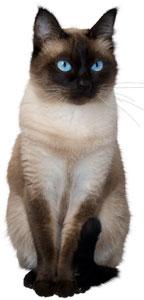 Razas de gato - Gato Siamés