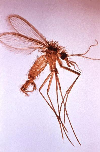 Phlebotomus spp