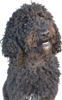 Razas de perro mediano - Perro de aguas