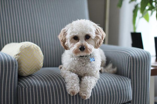 Perro en sillón