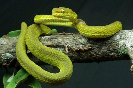 Serpiente Salazar