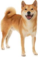 Razas de perro mediano - Shiba Inu