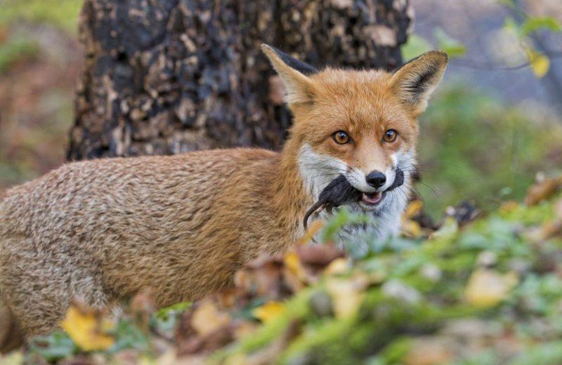 El zorro rojo actual deriva de una única especie extinta