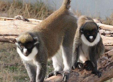 La Guardia Civil detiene a una persona por el robo de dos primates