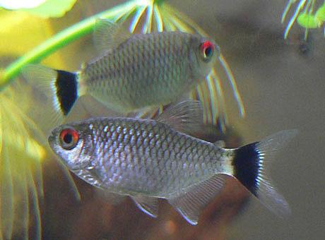 Tetra de ojos rojos - Moenkhausia sanctaefilomenae