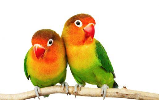 Accesorios para pájaros - Agapornis