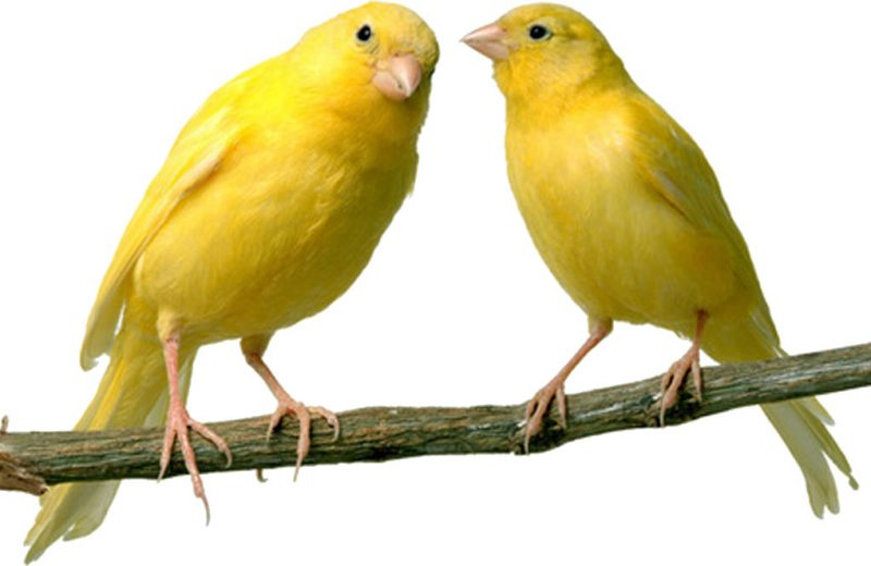 El estudio de las aves domesticadas ofrece claves sobre la evolución del lenguaje humano