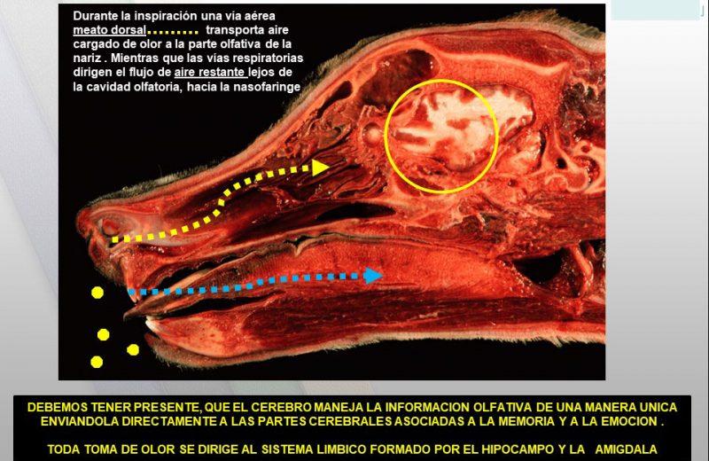 Cerebro perros